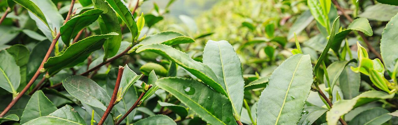 Fuji Green Tea